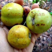 *UNCLE CHAN* 5 seeds Spondias PLUM Fruit fragrant sour shrub easy plant 2018