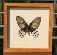 Papilio Horishanus Schmetterling !! In Holzrahmen hinter Glas eingefasst !!!