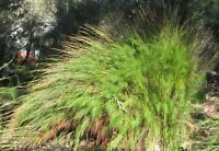 riesige wunderschöne Grasbüschel: das BAMBUS-ZIERGRAS hat nicht jeder im Garten