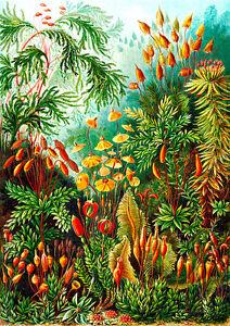 Muscinae A1 by Ernst Haeckel High Quality Canvas Print