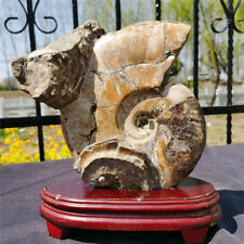 8.53 LB Ancient Ammonite Genuine Fossil Crystalline Specimen from Madagascar