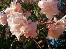 3 verschiedene Oleander Sorten - Kopfstecklinge plus 2 Stecklinge gratis dazu