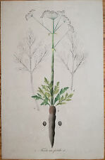 Mann Foreign Medicinal Plants Colored Folio Asant Asa foetida 1830