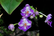 Rare orchid hybrid (bloom size) - Phalaenopsis appendiculata