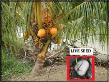 SPROUTED 1 KING Coconut  -Dwarf Palm tree (Cocos Nucifera) Harvest in 2 yrs