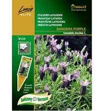 Italian levander seeds BANDERA PURPLE, Lavandula stoechas L. aromatic decorative
