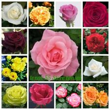 100 Rose Flower Seeds Rosa 25 Kinds Rare Ornamental Bonsai Plants in Home Garden