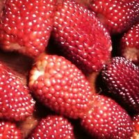 STRAWBERRY CORN 20 SEEDS RARE HEIRLOOM NON-GMO RED SWEET POPCORN TASTY USA