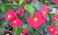 """EUPHORBIA GEROLDII - Thornless Crown of Thorns - Live plant 5"""" pot"""