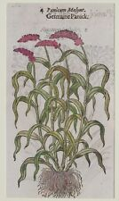 JOHN GERARD BOTANICA MATTHIOLI 1597 PANICUM INDICUM HERBS ERBE BOTANICA