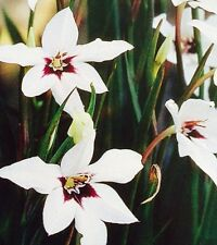 Acidanthera Bulbs, Peacock Orchid, Gladiolus acidanthera, 3 Bulbs