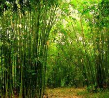 5 (1-2 Foot ) live Yellow Groove Bamboo hardy perennial plants 100% guarantee