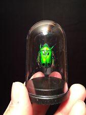 "Cabinet de curiosités ""My little globe"" insecte Heterorrhina sexmaculata!!"