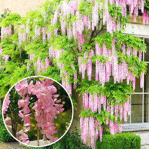 Wisteria Rosea   Pink Flowering Deciduous Hardy Climbing Garden Shrub Plant