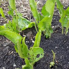 3 Organic Horseradish Starter Roots/Crowns Ready for Planting in Garden