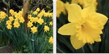 WILD DAFFODIL 10 bulbs LENT LILY, BUTTERCUP  Free Shipping