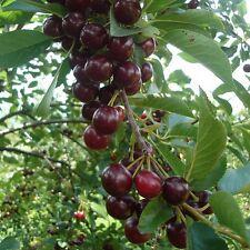 Prunus cerasus 'Oblaczynska' - Cerises noires - Cerisier Oblacinska