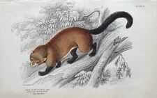 GULO CASTANEUS, WOLVERINE Jardine hand coloured antique animal print 1843