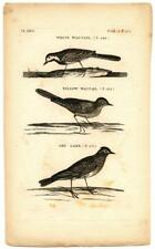 1776 Pennant White Yellow Wagtail Skylark Copper Engraving Antique Bird Print 2