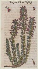 JACQUES DALECHAMPS BRUGO BRUYERE COMMON HEATHER BOTANICA BOTANY BOTANIQUE 1630