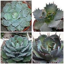 10 semi di agave potatorium var. verschaffeltii , succulente,seed succulents