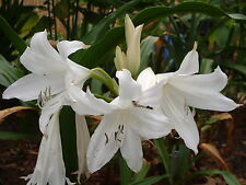 Crinum Lily, White Prince, JUMBO, blooming-size bulb