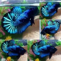Green Avatar Halfmoon Plakat Male - IMPORT LIVE BETTA FISH FROM THAILAND