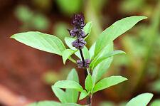 Thai Basilikum  150 Samen Ocimum Basilicum  Thaibasilikum