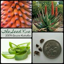 10+ CAPE ALOE SEEDS (Aloe ferox) Africa Red Flowering Succulent Medicinal