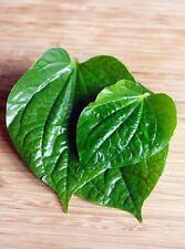 20 LEAVES Wild BETEL PIPER Sarmentosum PEPPER LA LOT Herb - RARE PLANT LEAF