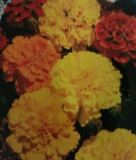 Marigold French Dwarf Double Mixed Flower Seeds
