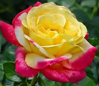 Yellow  Rose with Pink Trim Rose Seeds 100 SEEDS  --BUY 4 ITEMS FREE SHIPPING