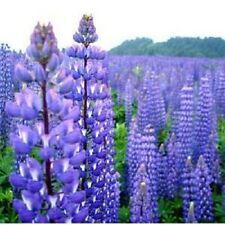 40+ Blue Lupine Flower Seeds / Reseeding Annual / Lupinus / Texas Blue Bonnet
