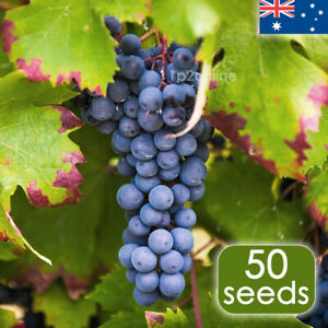 Cabernet Sauvignon Grape Seeds 50 RARE Grape Seed Unusual Fruit Vine Plant Tree