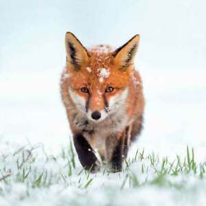 Red Fox Christmas Cards 8 Card Pk Charity The Wildlife Trusts