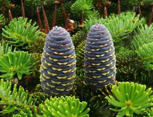 Koreatanne Abies koreana Pflanze 15-20cm Korea-Tanne Tanne Rarität