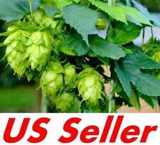 40 Seeds, Common Hops Seeds B112, Humulus Lupulus Seeds, Brewing Vine Hop Beer