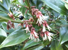 evergreen scented shade shrub Sarcococca orientalis, Oriental sweetbox Winter