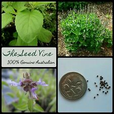 100+ ORGANIC HOLY BASIL SEEDS (Ocimum tenuiflorum) Thai Medicinal Tulsi Herbal