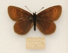SMALL MOUNTAIN RINGLET - A MALE FROM RYDALL FELL, GRASMERE, 1954