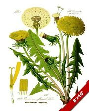 COMMON DANDELION WEED HERB PLANT ILLUSTRATION PAINTING ART REAL CANVAS PRINT