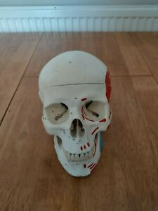 Classic Human Skull Model with Magnetic Connections, Painted,