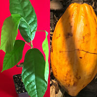 FORASTERO Theobroma Cacao Cocoa Chocolate Tree Potted Plant Yellow Pod