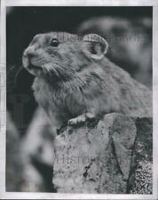 New listing 1953 Press Photo A rodent on a rock.