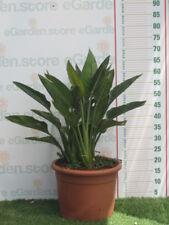 Strelitzia reginae v.24