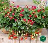 10 seeds of Ruby Ann Strawberry - FRAGARIA ANANASSA Red Flower + 5 of Sunflower