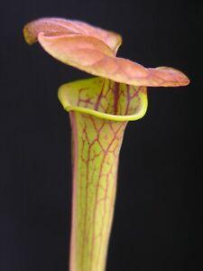 Carnivorous Sarracenia flava var cuprea - Boardwalk Site, Green Swamp, NC