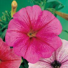 Petunia Seeds Freedom Raspberry Vein 50 Pelleted Petunia Seeds