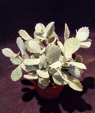 kalanchoe pumila quicksilver succulent plant