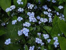 60+ FORGET- ME- NOT FLOWER SEEDS / MYOSOTIS PAULTRIS / MARSH /  DEER RESISTANT